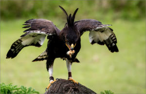 NA-3STAR-001-1140571-Long Crested Eagle Feeding-Andre Roos