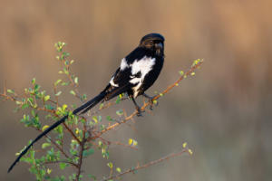 NA-Hon Bronze-001-1164702-Long tailed Shrike-Shirley Gillitt