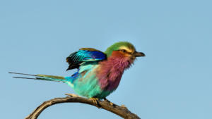 NA-Hon Bronze-002-1165898-Lilac Breasted roller-Shirley Gillitt
