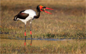 NA-Hon Gold-002-1166831-Saddle Billed Stork-Pieter Venter