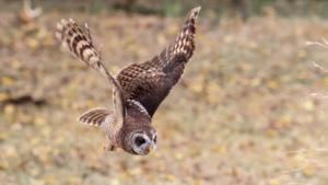 NA-5STAR-001-1203342-Wood owl in flight-Kevin Mullins