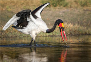 NA-Hon Gold-001-1197517-Saddle Billed Stork Fishing-Ciska Venter