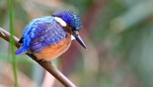 NA-5STAR-001-1219152-African Pygmy kingfisher-Kevin Mullins