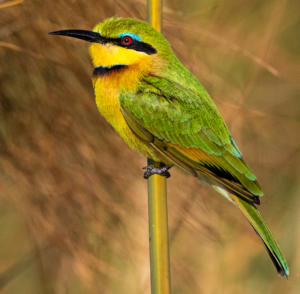 NA-Hon Bronze-002-1221669-Little Bee-eater-Di Wayne
