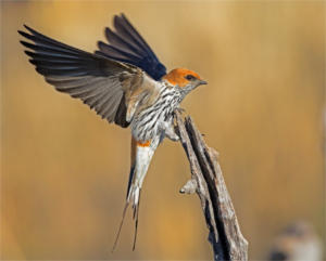 NA-Hon Gold-002-1219673-Greater Striped Swallow-Ciska Venter
