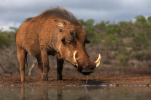NA-Hon Bronze-001-1247491-Warthog drink-Howard Gillitt