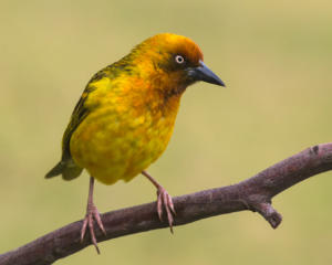 NA-Hon Bronze-001-1254710-Cape weaver-Wendy Freer