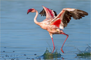 NA-Hon Platinum-002-1252619-Flamingo Dance -Ciska Venter