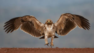 OP-Hon Silver-002-1241923-The mighty Tawny Eagle-Shirley Gillitt