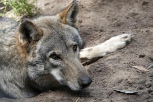 NA-1STAR-001-1265645-Timber Wolf-Sue Kuhnert