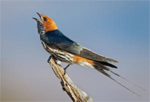 NA-Hon Platinum-001-1282608-Lesser Striped Swallow-Ciska Venter