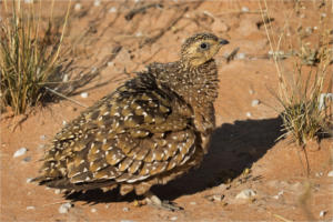 NA-2STAR-002-1370591-Fluffy Grouse-Sally Thackeray