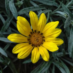 IC-1STAR-001-1603158-Maximilian Sunflower-Ian Cunningham