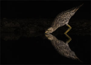 IC-Hon Silver-001-1765825-Thirsty Spotted Thick-knee-Howard Gillitt