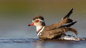 Banded_Plover_bath_time